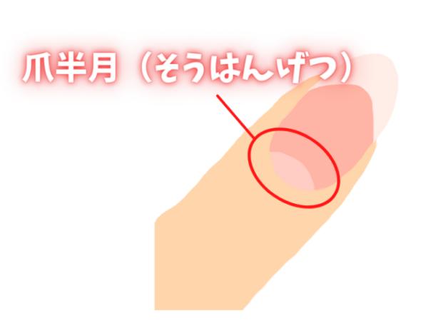 爪半月の説明